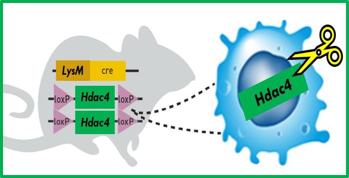 Histone deacetylase 4 (HDAC4)