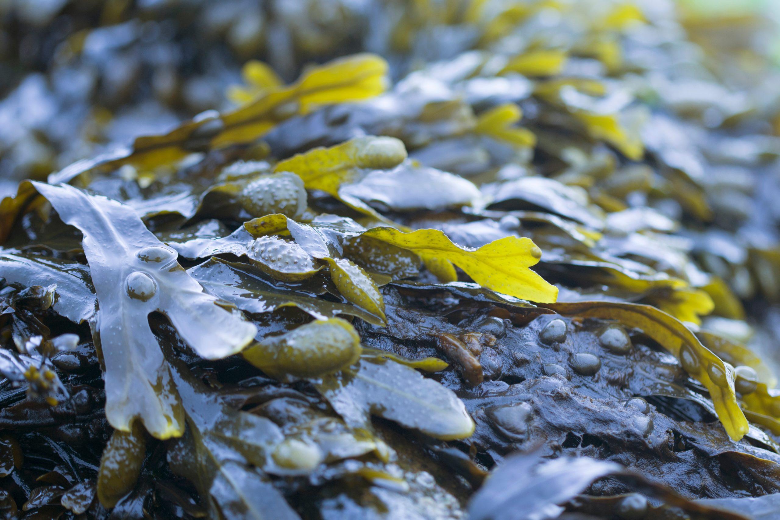 Fucoxanthin & Sugar Kelp